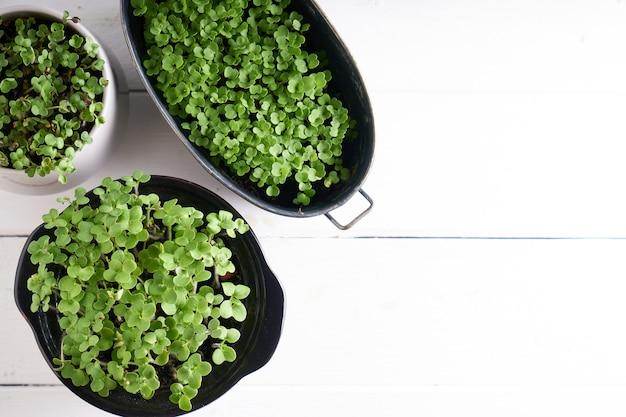 Micro verdi germinati in vaso