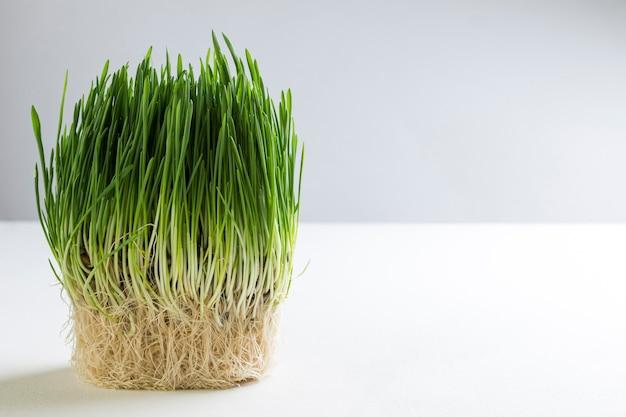 Semi di avena germinati. copia spazio
