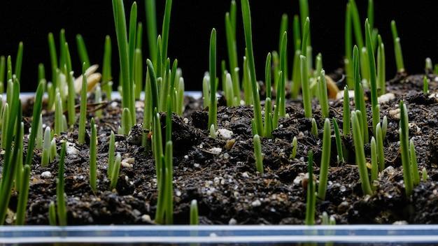 Germinazione e crescita dell'erba verde