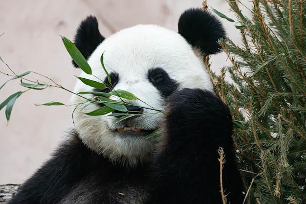 Un panda bianco e nero gigante sta mangiando bambù. primo piano di grandi animali.
