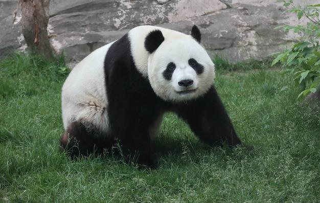 Un panda gigante bianco e nero sta camminando sull'erba verde.
