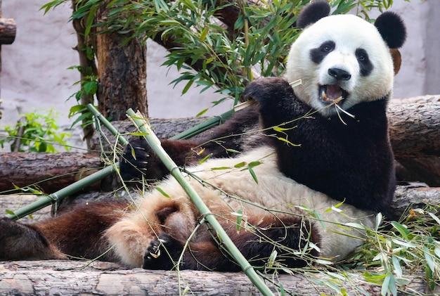 Il panda gigante bianco e nero stuzzica il bambù.