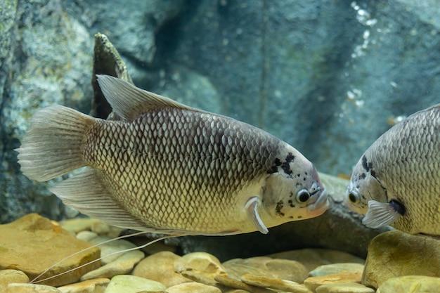 Pesce gigante di gorami nero al fiume della tailandia