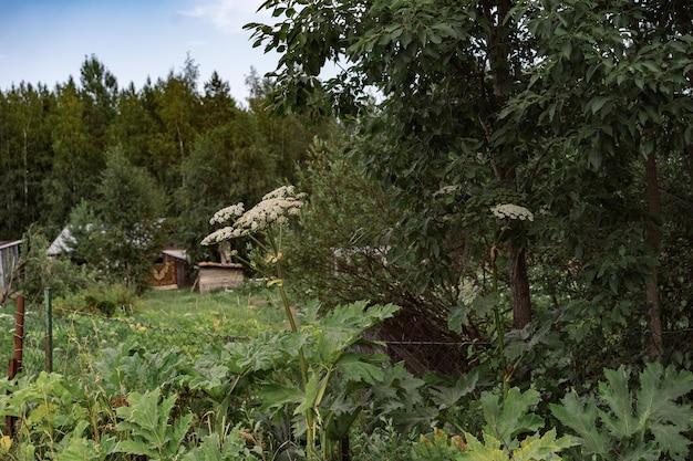 Panace gigante che cresce lungo la strada vicino a una pianta pericolosa di località