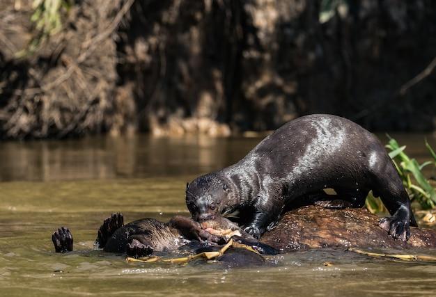 La lontra gigante si diverte a giocare lungo l'acqua nella foresta amazzonica.