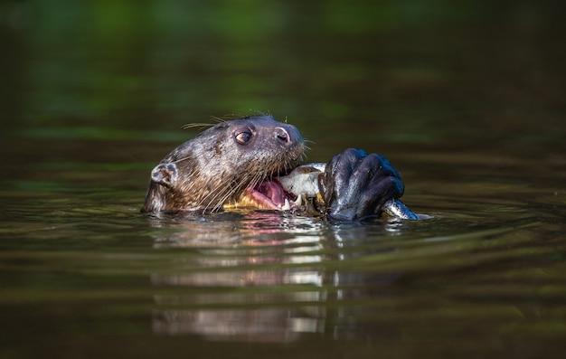 La lontra gigante sta mangiando pesce nell'acqua