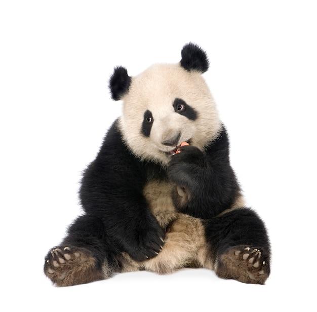 Panda gigante, melanoleuca di ailuropoda su un bianco isolato