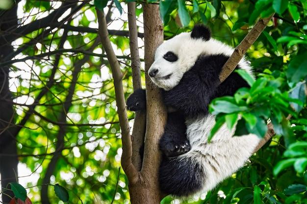 Orso panda gigante in cina