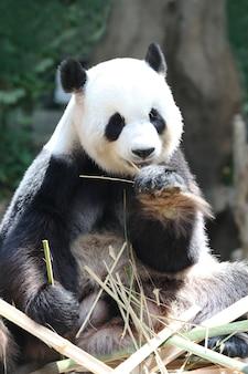 Orso panda gigante che mangia il primo piano di bambù secco