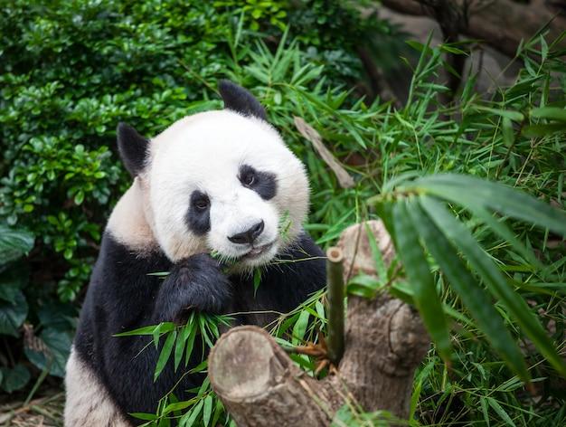 Panda gigante che mangia foglie di bambù