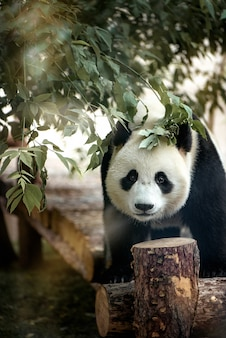 Panda gigante che esamina la macchina fotografica
