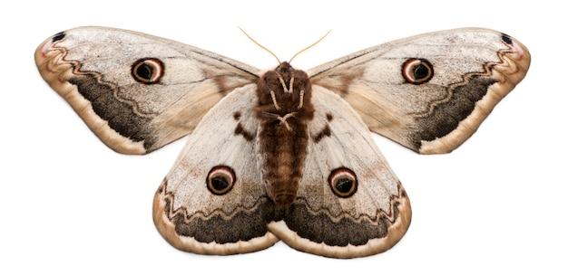 Lepidottero di pavone gigante isolato su bianco