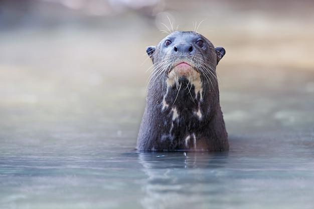 Lontra di fiume gigante nell'habitat naturale