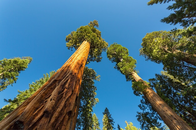 Alberi di sequoia sequoia gigante con cielo blu