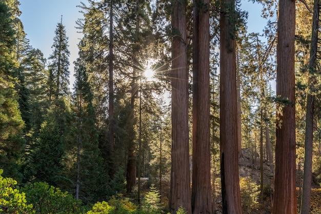 Foresta di sequoie giganti. sequoia national forest in california, sierra nevada. stati uniti d'america