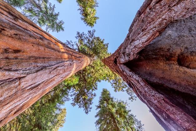 Foresta di sequoie giganti. sequoia national forest in california, montagne della sierra nevada. stati uniti d'america.