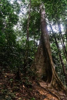 Nudiflora di tetrameles gigante nel santuario della fauna selvatica di hala-bala