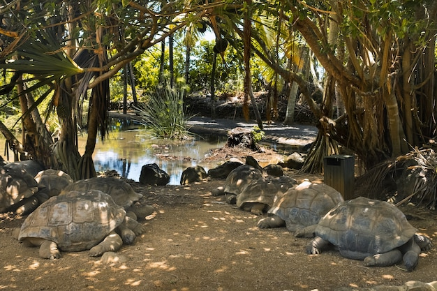 Tartarughe giganti dipsochelys gigantea in un parco tropicale sull'isola di mauritius nell'oceano indiano.