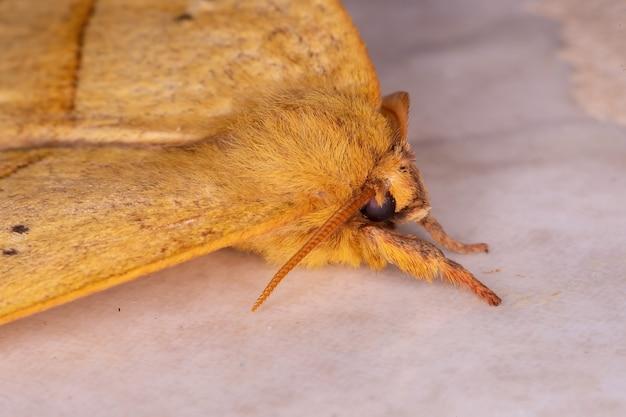 Falena gigante gialla della specie catacantha stramentalis