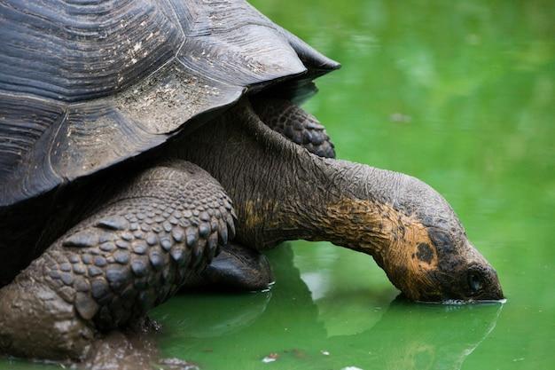 La tartaruga gigante sta bevendo l'acqua da una pozzanghera