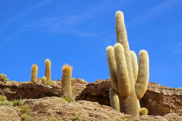 Gigantesco trichocereus pasacana cactus su isla del pescado sperone roccioso uyuni saline bolivia