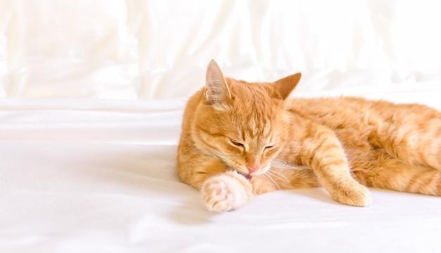 Il gatto allo zenzero è lavato. il gatto lecca la zampa su uno sfondo bianco. gatto da toelettatura.