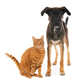 Gatto dello zenzero in posa con cucciolo di cane incrocio. su bianco.