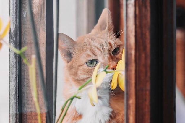 Il gatto dello zenzero annusa i fiori sulla finestra.