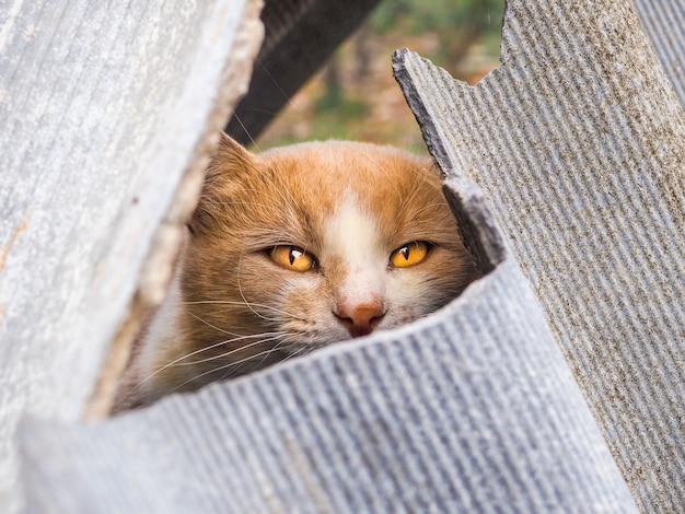 Un gatto rosso con gli occhi gialli fa capolino da una fessura tra fogli di ardesia rotti.