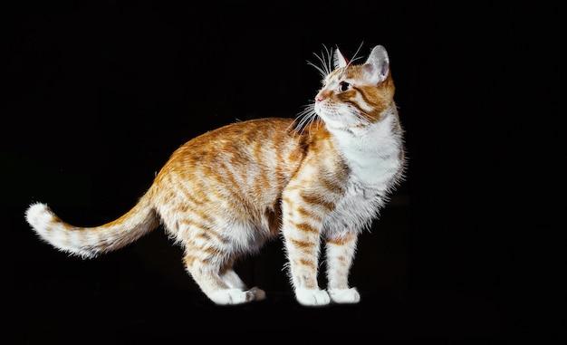 Ginger kitten, timidamente solleva il piede anteriore, orange tabby cat, vista laterale