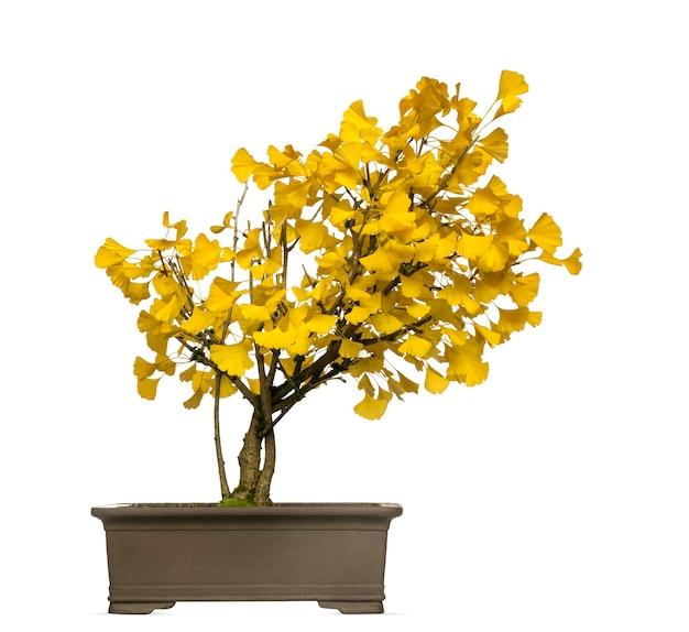 Albero dei bonsai del ginkgo, isolato su bianco