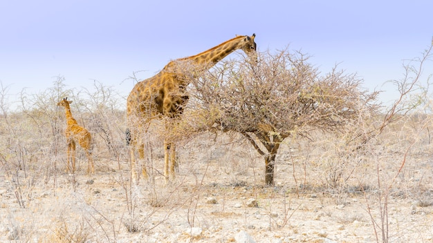 Giraffa che mangia nel parco nazionale di etosha in namibia, africa.