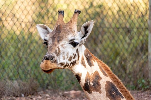 Una giraffa (giraffa camelopardalis) durante il giorno.