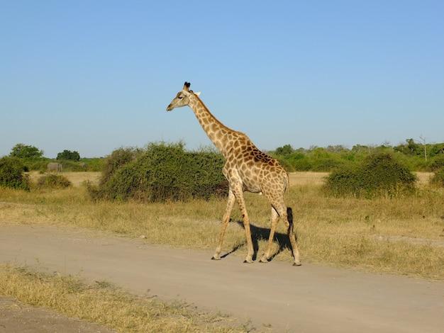 La giraffa sul safari nel parco nazionale di chobe, botswana, africa