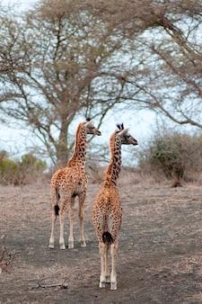 Fauna selvatica della giraffa in kenya
