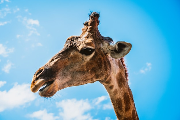 La giraffa con lo sfondo è il cielo blu