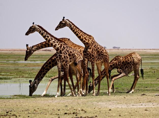 Giraffe nel parco nazionale di amboseli