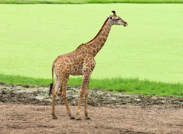 Giraffe sulla natura