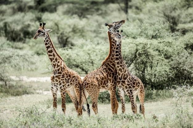 Giraffe che giocano nel parco nazionale del serengeti