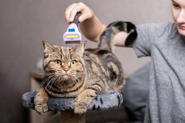 Una ragazza pettina un gatto di razza scozzese straight con un furminator. cura degli animali.