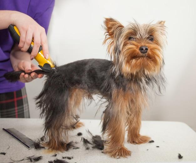 Una ragazza taglia un piccolo bellissimo cane divertente con un tagliacapelli