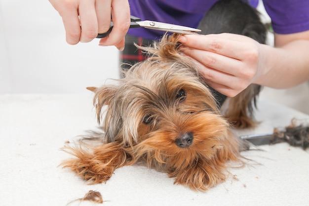 Una ragazza taglia un piccolo bellissimo cane divertente