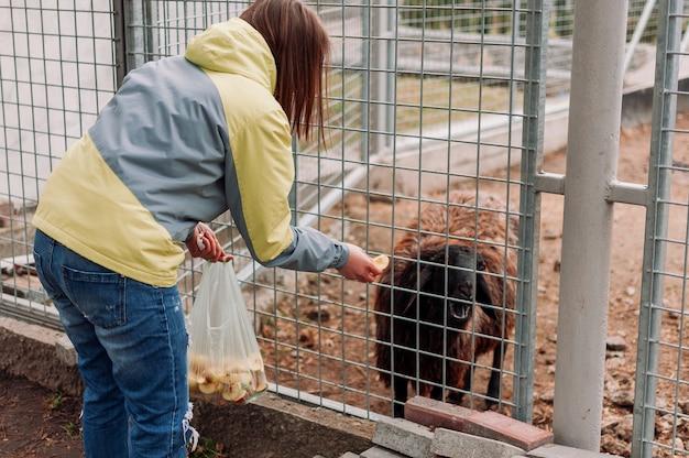 La ragazza nutre una pecora marrone. l'animale mangia le mele attraverso una rete in una gabbia. il mammifero è in uno zoo. foto orizzontale. messa a fuoco selettiva.