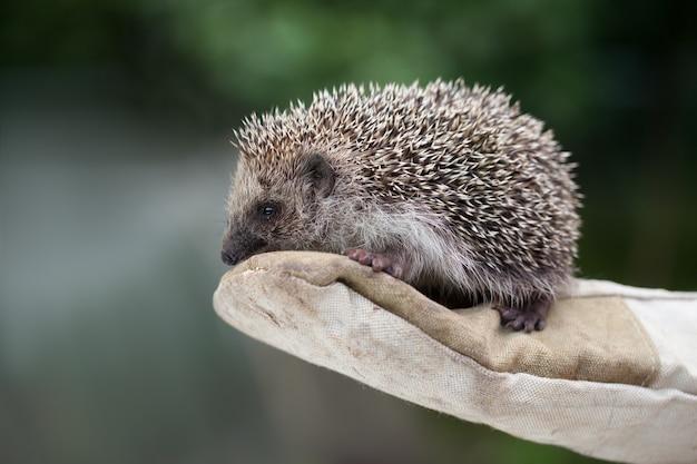 Ragazza che tiene un piccolo riccio in guanti stretti