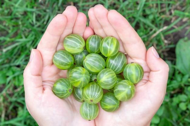 La ragazza tiene in mano una manciata di uva spina verde matura