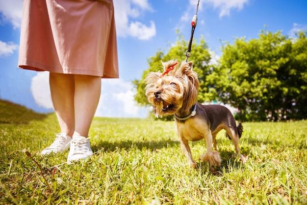 Una ragazza sta camminando con un cane nel parco. yorkshire terrier