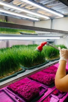 Una ragazza sta annaffiando il primo piano dei micro germogli verdi in una serra moderna. dieta sana.