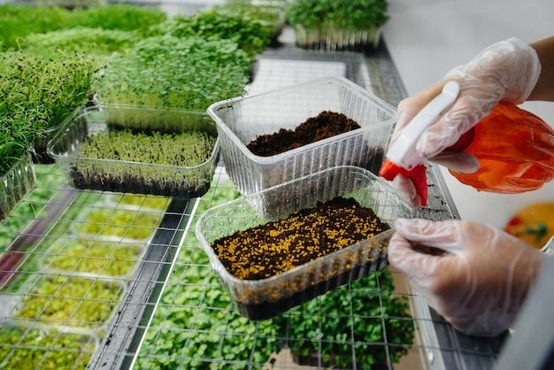 Una ragazza pianta i semi del primo piano di micro verdi in una serra moderna. dieta sana.