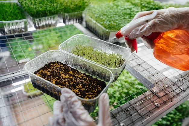 Una ragazza pianta i semi del primo piano dei micro verdi in una serra moderna. dieta sana.