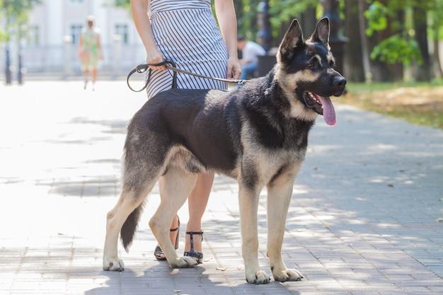 Ragazza in una passeggiata con un cane da pastore in città